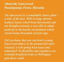 About Lancewood Tree
